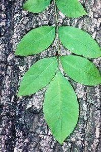 Green Ash leaf