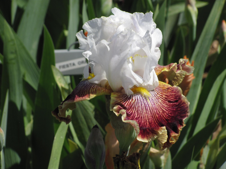 Iris farm shares beauty growing tips cheyenne garden gossip izmirmasajfo Choice Image
